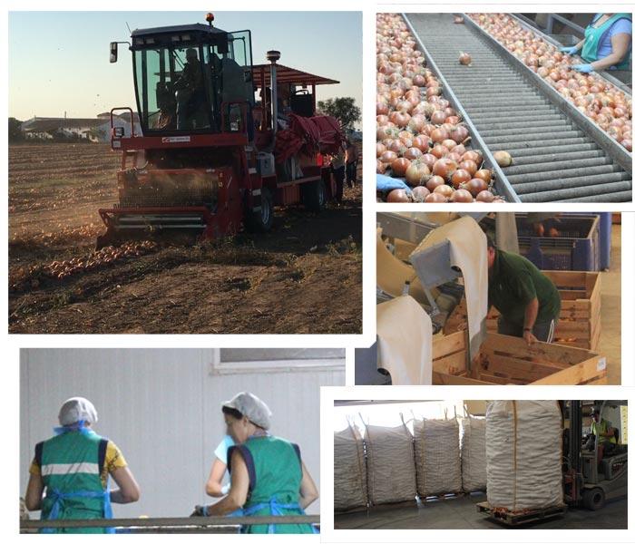 empresa-productor-distribuidor-company-onion-cebollas-ruescas-export